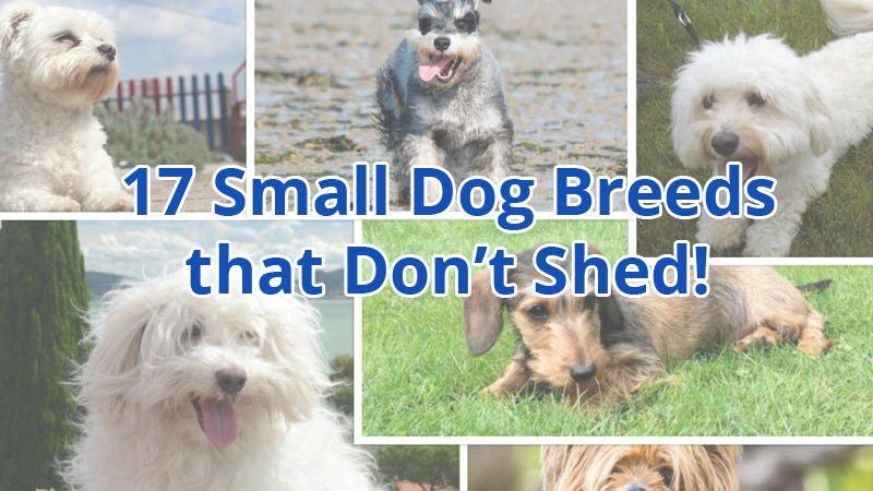Best Small Dog Breeds For Seniors